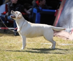 2013-05-05-lt-retriever-club-show-img_2002
