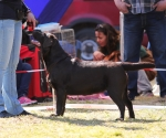 2013-05-05-lt-retriever-club-show-img_2014