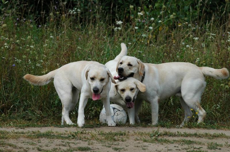 Labradoro retriveriai