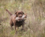 retriever_field_trials_2012_10_27_img_1224