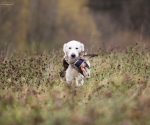 retriever_field_trials_2012_10_27_img_1236