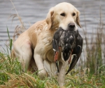 retriever_field_trials_2012_10_27_img_1403