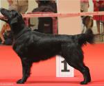 """METSAVIRNAN KENTUCKIAN LILY – darbinė klasė, puikiai – 1 vieta klasėje, Danijos CAC (klasėje 14 šunų), veislynas """"Basteta"""""""