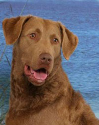 chesapeakebayretriever4