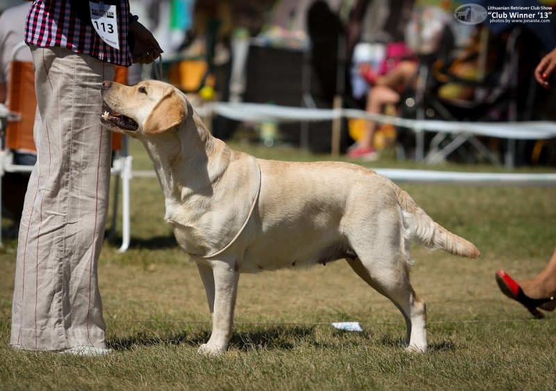 RUS CH LAB'SPB VEGAS GIRL - excellent - 1, LT CAC, own. Arzhint N.