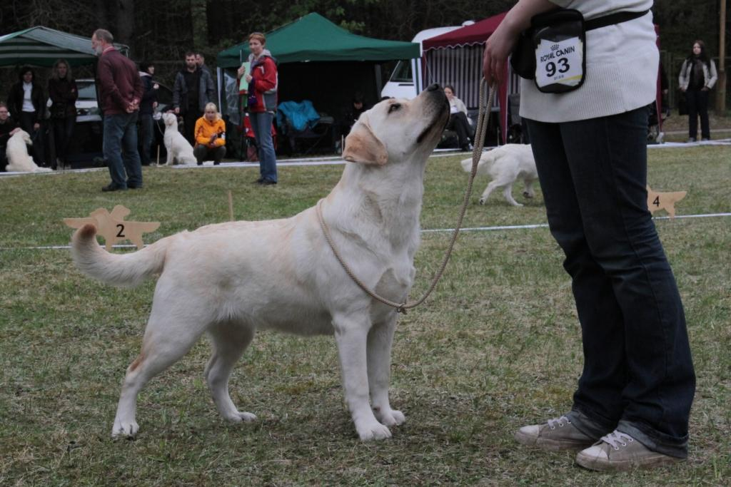Lab 'SPB Infinity At Kompanija - l. promising - 1, Puppy BIS-4