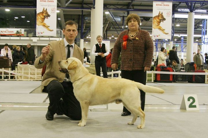 Labradoro retriveris - Rocheby Pop Larkin – CAC, N, CACIB, BOB